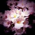 1 宵の酔い桜花